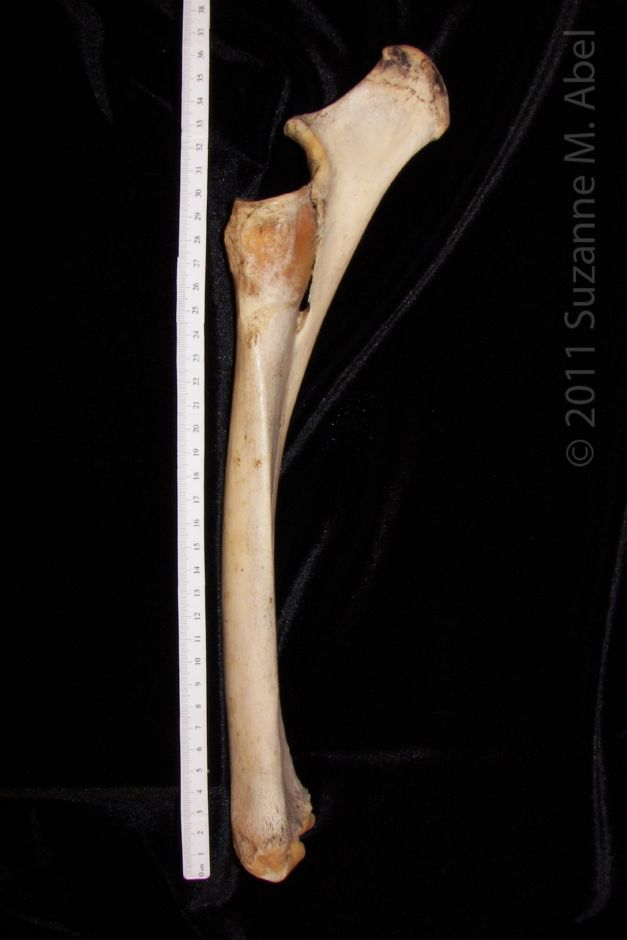 Unique Radius And Ulna Frieze - Anatomy And Physiology Biology ...